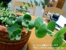 プルベルレンタ (Eucalyptus pulverulenta)