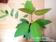 ロブスタ (Eucalyptus robusta)