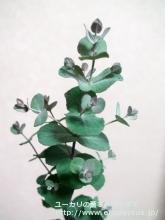 モリスビー (Eucalyptus morrisbyi)