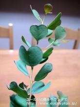 ディシペンス (Eucalyptus decipiens ssp. decipiens)
