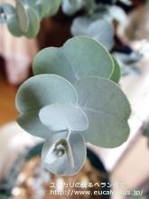 グラウスセンス (Eucalyptus glaucescens)
