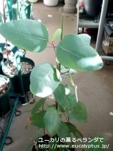 ペルタータ (Corymbia peltata)